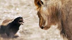 """Con mồi nhỏ bé khiến sư tử phát thèm nhưng không dám """"động thủ"""""""
