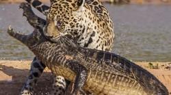 Cận cảnh báo đốm kịch chiến nảy lửa với cá sấu trên sông