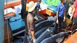 Đà Nẵng: Tàu bắt được toàn cá khủng, nhưng dân buồn vì bán rẻ