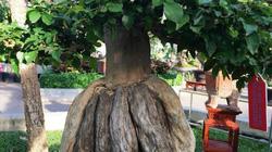 """Những chậu bonsai có hình dáng """"quái dị"""" và lạ ở Nha Trang"""