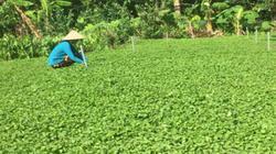 Năm mới dân ở đây đổi đời nhờ thứ rau bán mùa nào cũng đắt hàng