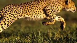 Những loài động vật nhanh nhất thế giới: Báo hay linh dương nhanh hơn?