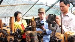 Trồng thành công loài nấm mộc nhĩ đen khổng lồ ở Ninh Bình