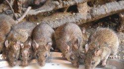 Rùng mình ghé thăm ngôi đền nuôi 25.000 con chuột