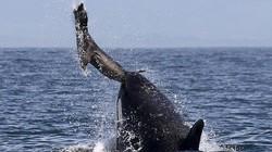 Xem kỹ năng phối hợp săn mồi đỉnh cao của cá voi sát thủ