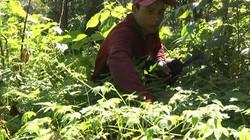 Quảng Nam: Vùng đất dân có của ăn của để nhờ trồng sâm nước