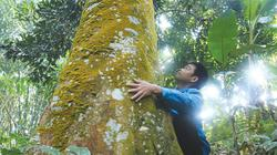 """""""Báu vật"""" quế cổ ở Nậm Đét, chỉ cần... rung cây là ra tiền triệu"""