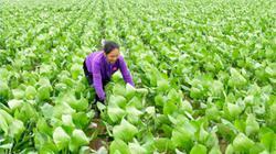 Ninh Bình: Trồng loài cây trông như bèo tây, lãi 40-50 triệu/ha