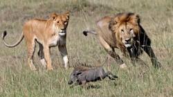 Lợn rừng hèn nhát, bỏ bạn tình bị sư tử xé xác