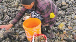 Bình Thuận: Ra biển nhặt thứ ốc bé xíu nhưng thơm ngon lạ lùng