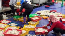 """Vừa """"xông"""" biển đã gặp luồng cá cơm béo trắng, thu 150 triệu/ngày"""