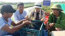 Quảng Bình: Nuôi thứ tôm càng to bự ở ruộng lúa, bán 230 ngàn/kg