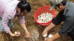 Dùng vỉ lót trồng nấm rơm, nấm mọc nhiều, bán 45.000 đồng/ký