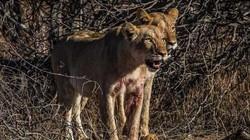Hươu nhận cái kết thảm sau khi vô tình lao thẳng vào đàn sư tử