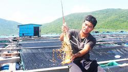 Khánh Hòa: Nuôi nhiều tôm hùm to bự, đỏ mắt tìm thương lái