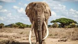 """Chú voi có cặp ngà khổng lồ, được coi như """"bảo vật"""" của một quốc gia qua đời ở tuổi 50"""