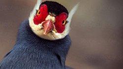 Loài gà lạ, mặt đỏ tía tai, tiếng kêu vang xa gần 2km, giá 15 triệu đồng/cặp