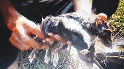Lào Cai: Săn chuột rừng, xào xả ớt thơm lừng, ăn ngay tại lán