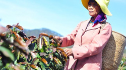 Lâm Đồng: Sương muối hoành hành, dân thiệt hại gần 50 tỷ đồng