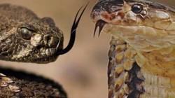 Rợn người chứng kiến cảnh rắn đuôi chuông bị hổ mang nuốt chửng
