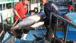 Cá ngừ đại dương rớt giá,  ngư dân kém vui