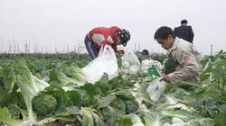 Sau Tết, giá rau xanh tăng cao chưa từng có