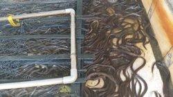 Nuôi lươn đồng sinh sản, lươn giống khỏe, bán lươn thịt 190 ngàn/ký