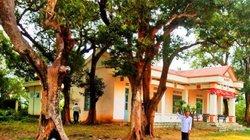 """Lạ ở Bình Định: Làng ra """"nghị quyết"""" bảo vệ báu vật là 20 cây kơnia"""