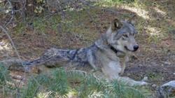 Cô sói đi bộ suốt hơn 14.000 km chỉ để kiếm bạn đời