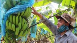 Giá chuối tăng lên 11.500 đồng/kg, thương lái đặt mua cả chuối non