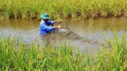 Cà Mau: Trồng gần 400ha lúa hữu cơ đạt tiêu chuẩn gạo ngon thế giới