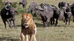 """Sư tử đực """"cóng"""" trước đàn trâu rừng hung hãn vây quanh"""