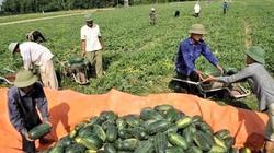 Giá dưa hấu Gia Lai tăng vọt lên 4.000 đồng/kg, không còn để bán