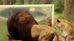 Sư tử đực hốt hoảng soi gương và cái kết bất ngờ