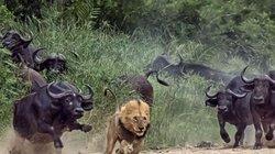 Sư tử đực mất miếng mồi ngon chỉ vì quá nhát gan
