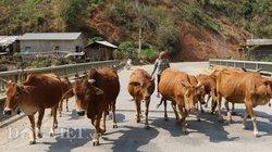 """Trồng cỏ nuôi đàn bò 20 con, anh Phỏng """"tích tiểu thành đại"""""""