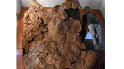 Rùa khổng lồ cổ đại to ngang ô tô tải