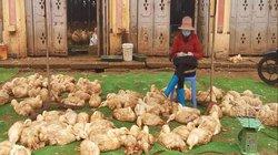 Chợ đầu mối gia cầm ế ẩm trước dịch cúm A/H5N6