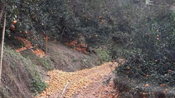 Vì sao hơn 10.000 tấn cam Hà Giang rụng nát tơi tả, có được hỗ trợ khôi phục sản xuất?