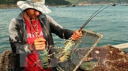 Giải cứu tôm hùm: Dân Phú Yên nuôi tiếp, cho ăn ít đi, nuôi thêm hàu