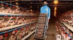"""Giá vịt thịt chỉ còn 25.000 đồng/kg, lãi """"bay"""" theo virus corona"""