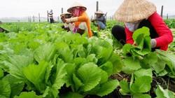 """Tái cơ cấu nông nghiệp: """"Bài toán khó"""" trồng rau công nghệ cao"""