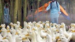 """Giá gà, vịt rẻ như cho: Người chăn nuôi khóc ròng """"chịu trận"""""""