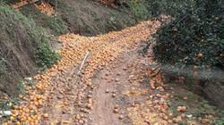 Clip: Hàng ngàn tấn cam ở Hà Giang rụng vàng gốc, dân đổ đống ven đường