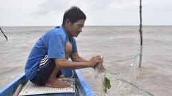 Cà Mau: Chênh vênh cửa biển với nghề đăng bắt loài cá đối ngon
