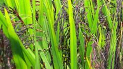 """Trồng lúa thảo dược ít người biết, ai ngờ là """"mỏ vàng"""" kiếm trăm triệu dễ dàng"""