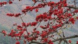 Đã mắt ngắm hoa gạo nở đỏ rực ven sông Đà, nhớ tuổi thơ da diết