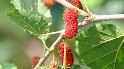 Đưa thứ cây ra trái như trứng ốc về trồng, đổi đời vì ai ăn cũng mê