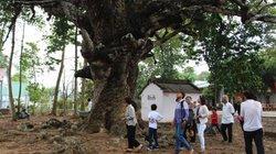 Trà Vinh: Choáng với cây dầu 700 tuổi, rễ như đàn rắn bò xung quanh