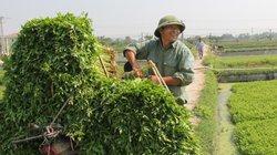 Làng trồng rau cần bán đắt, nhổ 10 tấn có người cất ngay bờ ruộng